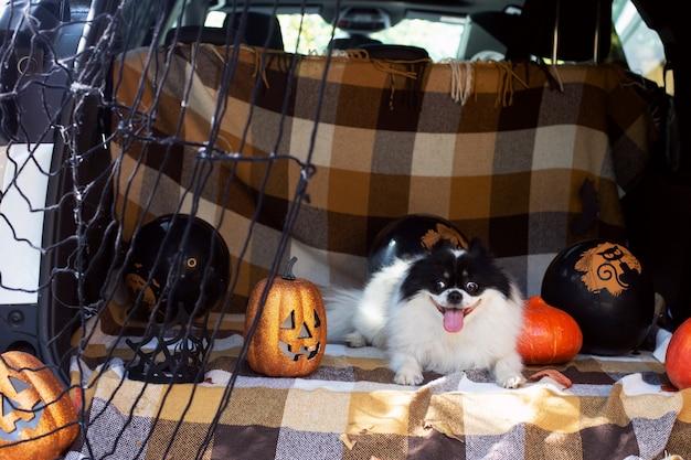 Zabawny pies siedzi w bagażniku samochodu ozdobiony zabawkami na halloween szpic