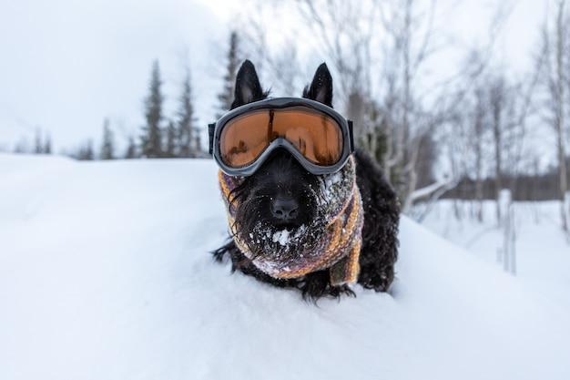 Zabawny pies terier szkocki ubrany w maskę narciarską i kolorowy szalik na tle śniegu i lesie ośrodek narciarski