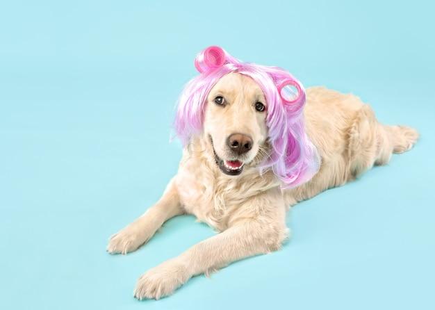 Zabawny pies w perukę i lokówki na kolor