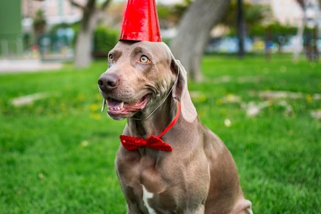 Zabawny pies wyżeł weimarski z czerwonym urodzinowym kapeluszem w parku