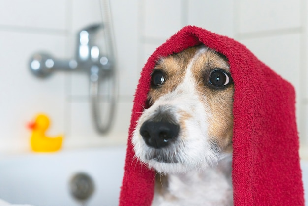 Zabawny piesek w łazience z ręcznikiem na głowie zwierzak bierze prysznic