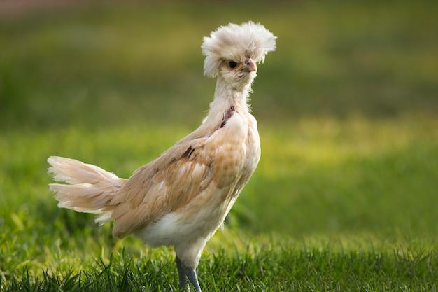 Zabawny polski kurczak z zieloną trawą