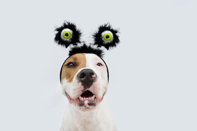 Zabawny portret american staffordshire dog świętuje halloween i karnawał ubrany w diadem z oczami kostium. na białym tle na szarym tle