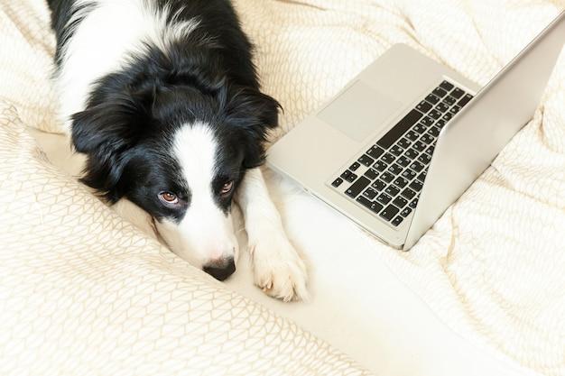 Zabawny portret ładny szczeniak pies rasy border collie na łóżku pracy surfowania przeglądania internetu za pomocą laptopa