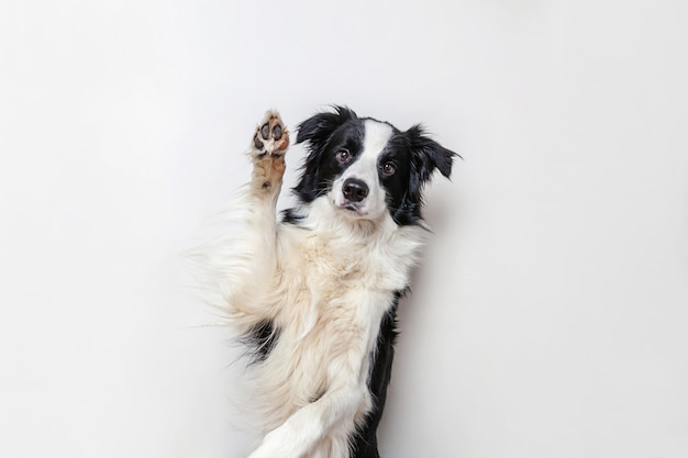 Zabawny portret ładny uśmiechnięty szczeniak border collie na białym tle. nowy uroczy członek rodziny, mały piesek, który patrzy i czeka na nagrodę. koncepcja życia zwierząt śmieszne zwierzęta.
