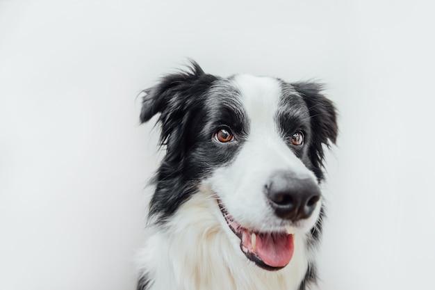 Zabawny portret ładny uśmiechnięty szczeniak border collie na białym tle