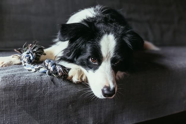 Zabawny portret ładny uśmiechnięty szczeniak border collie na kanapie w pomieszczeniu