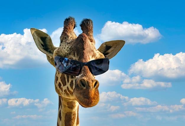 Zabawny portret moda żyrafa (żyrafa camelopardalis) z okulary hipster na tle błękitnego nieba i chmur. ekoturystyka i afrykańskie safari, koncepcja zwierząt. macho z fajnymi okularami przeciwsłonecznymi