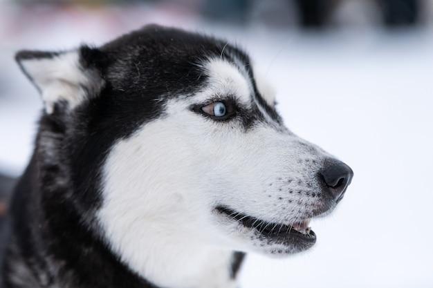 Zabawny portret psa husky, tło zima śnieg. miły posłuszny zwierzak na spacerze przed szkoleniem psów zaprzęgowych. piękne niebieskie oczy.