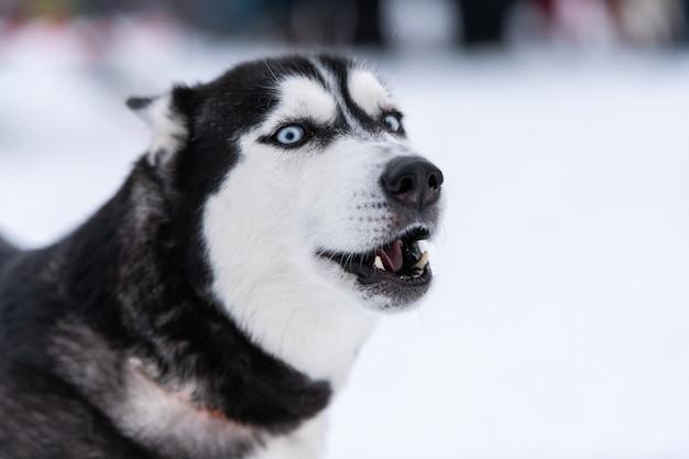 Zabawny portret psa husky, tło zima śnieg. miły posłuszny zwierzak na spacerze przed szkoleniem psów zaprzęgowych.