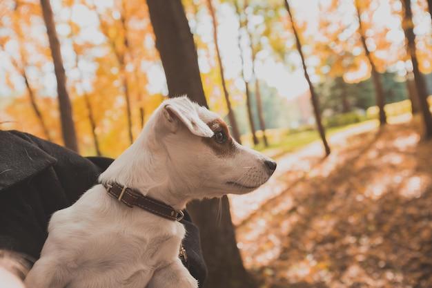 Zabawny portret psa jack russell terrier w jesiennej przyrodzie. koncepcja zwierząt domowych i rasowych