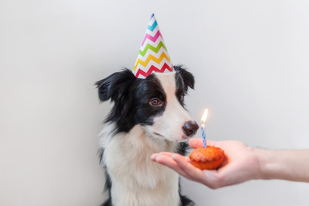 Zabawny portret śliczny uśmiechnięty szczeniak rasy border collie w kapeluszu urodziny głupi patrząc na ciastko świąteczne ciasto z jedną świecą na białym tle