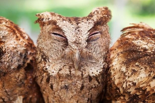 Zabawny portret śpiącej sowy z zamkniętymi oczami siedzącej na okonie obok siebie wśród grupy innych ptaków.