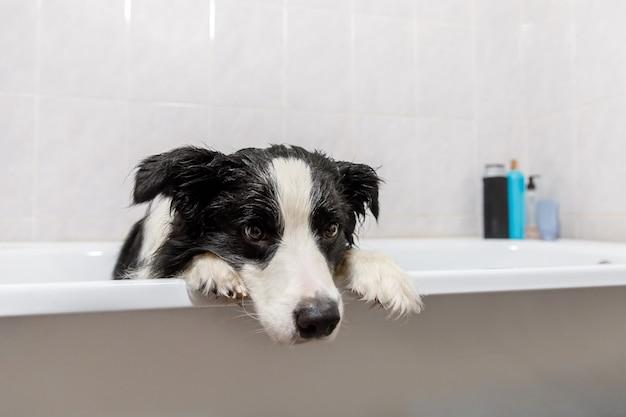 Zabawny portret wewnętrzny szczeniaka rasy border collie siedzącego w wannie dostaje kąpiel z bąbelkami pod prysznicem z szamponem.