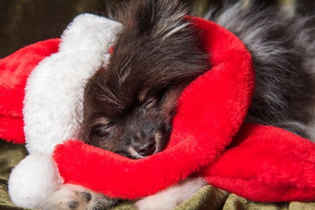 Zabawny puszysty szczeniak pomorskiego szpica śpi w czapce mikołaja na boże narodzenie