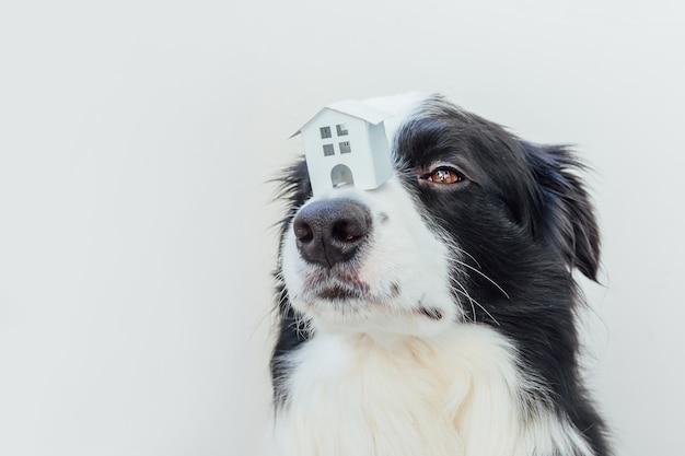Zabawny śliczny szczeniak border collie trzymający domek z zabawkami na nosie, na białym tle