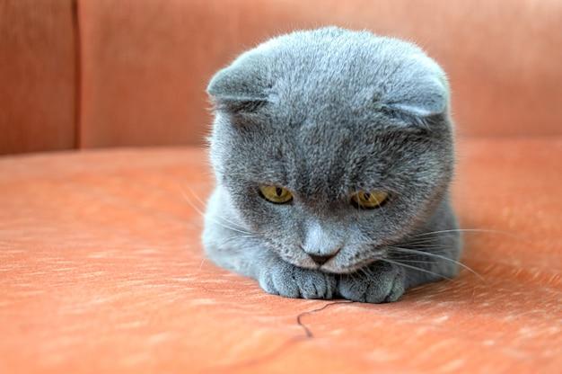 Zabawny szary kot szkocki na pomarańczowej kanapie tekstylnej gra w nitkę. niewyraźne tło.