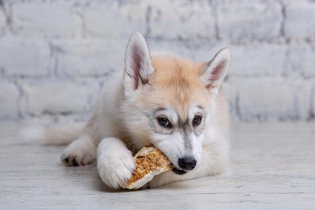 Zabawny szczeniak husky rasy jasnego koloru gryzie uszy suszonej wieprzowiny i wołowiny.