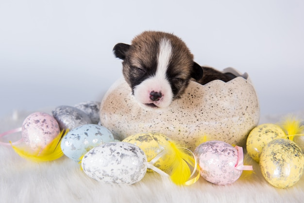 Zabawny szczeniak pembroke welsh corgi siedzi w jajku na białym tle na białym tle na święta wielkanocne