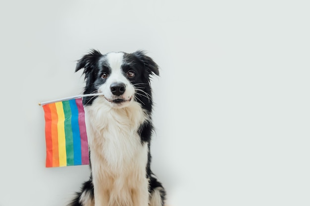 Zabawny szczeniak pies rasy border collie trzymając tęczową flagę lgbt w ustach na białym tle