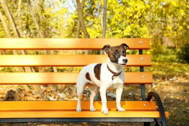Zabawny terier jack russell na drewnianej ławce w jesiennym parku