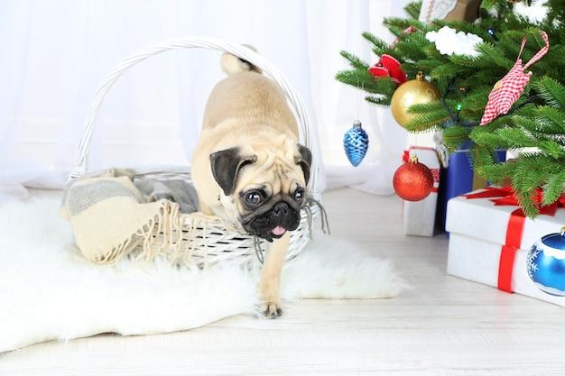 Zabawny, uroczy i zabawny pies mops na białym dywanie w pobliżu choinki na jasnym tle