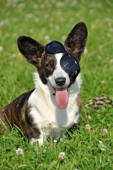 Zabawny walijski kardigan corgi pies w okularach przeciwsłonecznych