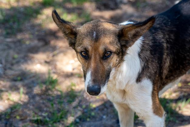 Zabłąkany pies z chipem w uchu. portret smutny kundla zakończenie. opuszczony samotny zwierzak w lecie park