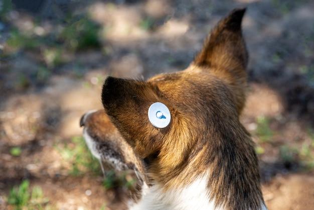 Zabłąkany pies z chipem w uchu. zbliżenie głowy. smutny kundel leżący na ziemi. opuszczony samotny zwierzak