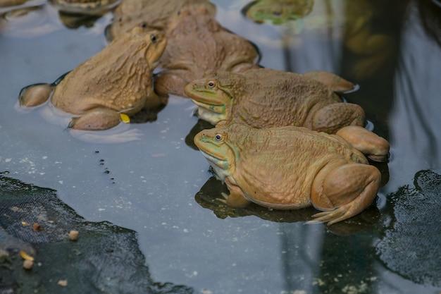 Żaby znajdują się w stawie na farmie żab w tajlandii