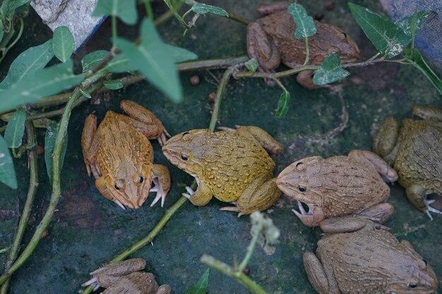Żaby zwierząt gospodarczych i hodowlanych