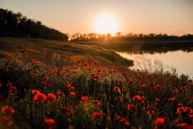 Zachód słońca na polu maku na brzegu jeziora.