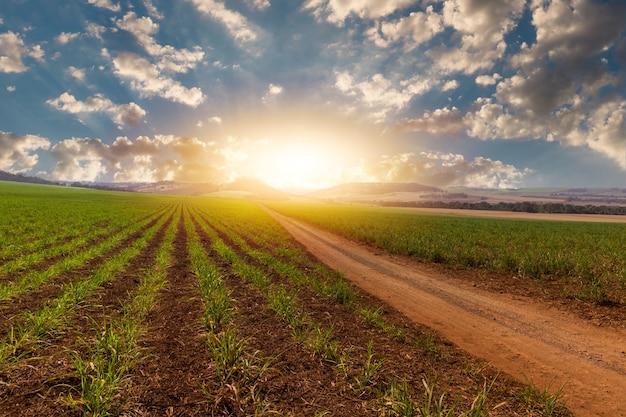 Zachód słońca nad małą plantacją trzciny cukrowej młodych z pochmurnego nieba. koncepcja obrazu gospodarki rolnej ameryki południowej.