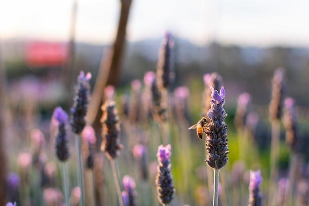 Zachód słońca nad polem fioletowej lawendy i zapylających pszczoły, jasna słoneczna lawenda