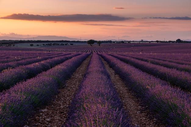 Zachód słońca w lawendowych polach. brihuega guadalajara hiszpania