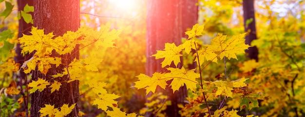 Zachód słońca w lesie jesienią. jesienny las z żółtymi liśćmi klonu przed słońcem