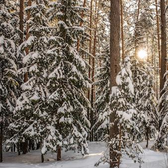Zachód słońca w zimowym lesie świerkowym i sosnowym pokrytym świeżym śniegiem w mroźny dzień