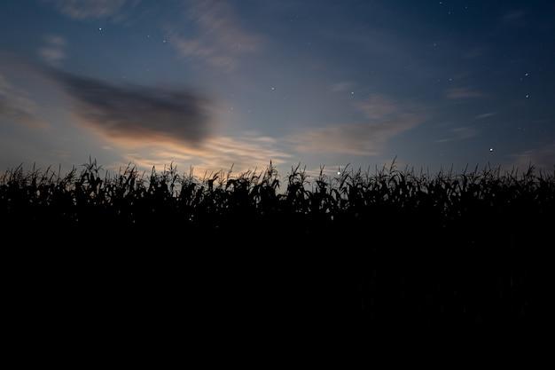 Zachód słońca za polem kukurydzy. krajobraz z niebieskim niebem i zachodzącym słońcem. rośliny w sylwetce. przedni widok.