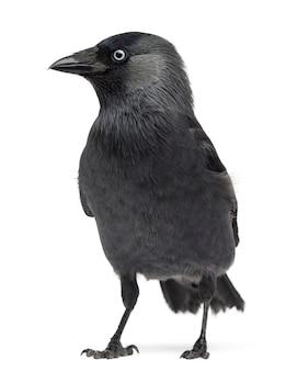 Zachodnia kawka corvus monedula (lub eurazjatycka kawka lub europejska kawka lub po prostu kawka) na tle białej przestrzeni