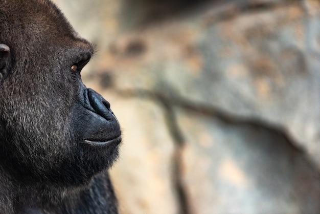 Zachodniej goryl męski siedzi, goryl goryl goryl, w zoo.