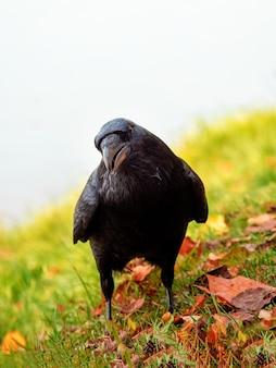 Zaciekawiony duży czarny kruk patrzy prosto w kamerę i pozuje na jesiennej łące, pionowy portret czarnego kruka.