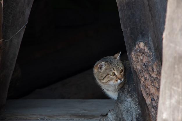 Zaciekawiony młody kociak zagląda za róg drewnianego schronienia. wielokolorowy kotek wygląda w prawo.