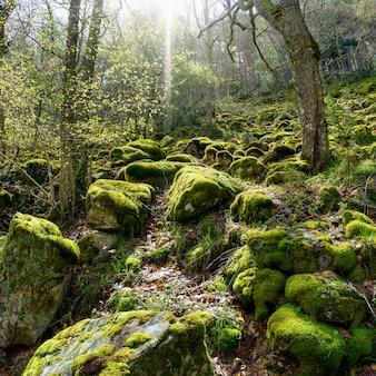 Zaczarowany las dużych kamieni pokrytych mchem i promieniami słońca wpadającymi między drzewa
