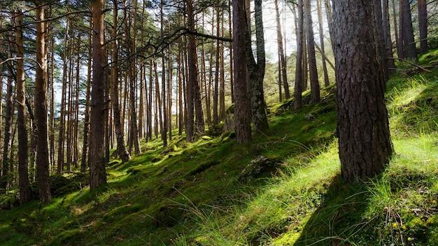 Zaczarowany las z zieloną trawą i słońcem przebijającym się przez wysokie drzewa