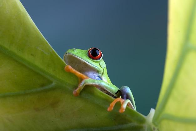 Zaczerwieniona żaba drzewna na żółtym liściu