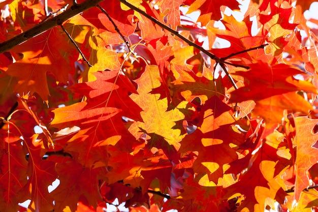 Zaczerwienione liście dębu na gałęziach to dąb, jesień jasna kolorowa natura