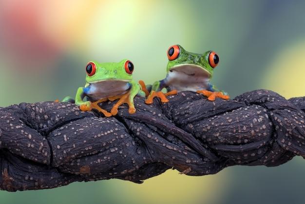 Zaczerwienione żaby drzewne na gałęzi drzewa