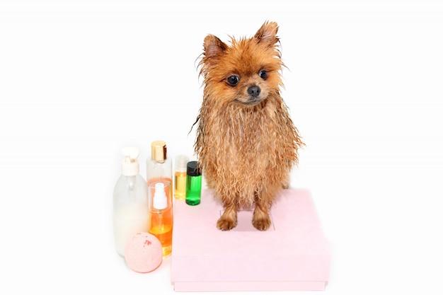 Zadbany pies. pomorski pies bierze prysznic. pies w kąpieli. pielęgnacja psów