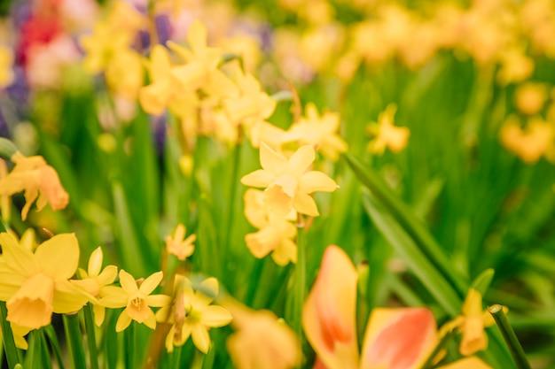 Zadziwiający żółty daffodils kwiatu pole w ranku świetle słonecznym