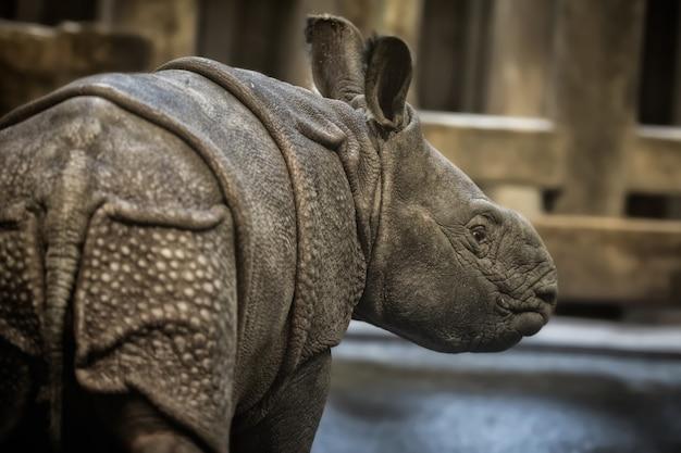 Zagrożony wyginięciem nosorożec indyjski nosorożec unicornis
